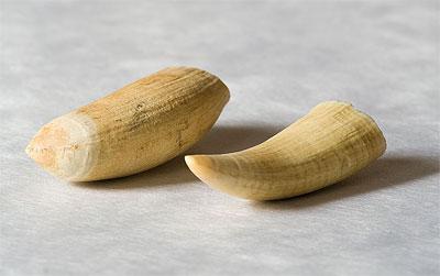 зубы кашалота фото
